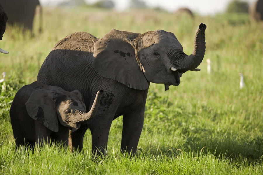 Africa's Elephants