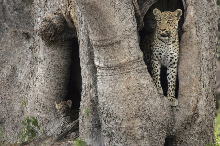 a-leopard-and-cub-inside-a-giant-baobab-beverly-joubert