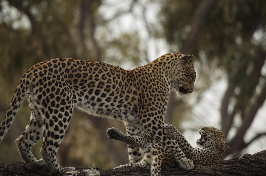 a-mother-leopard-playing-beverly-joubert