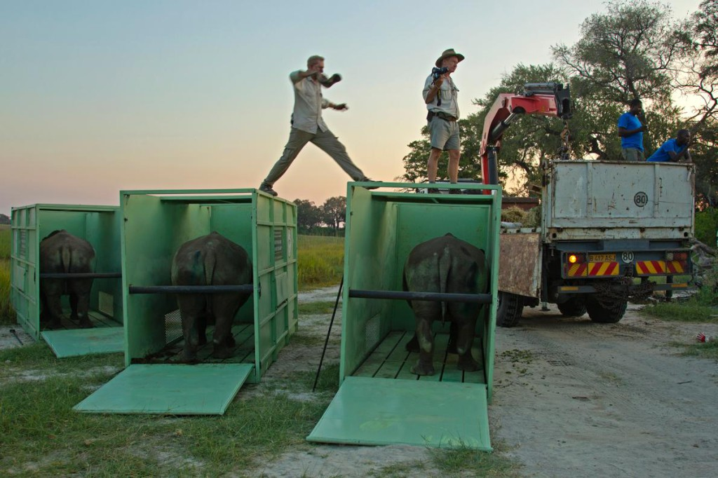 First Rhinos in Massive African Airlift Released in Botswana