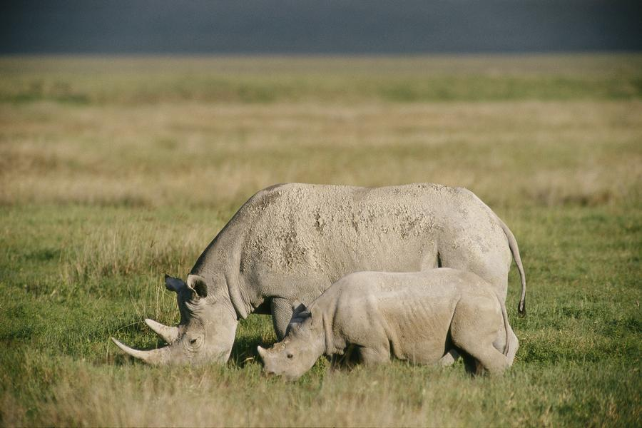 black-rhinoceroses-beverly-joubert