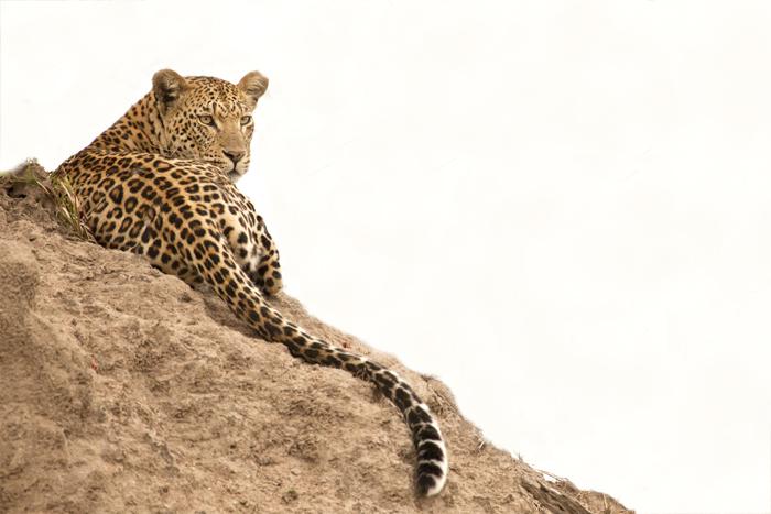 A beautiful female leopard resting on a termite mound