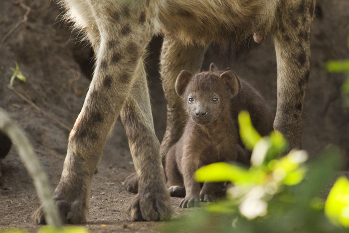 A young hyena rests after suckling from its mother. Amy captures the young pup framed between its mother's legs.