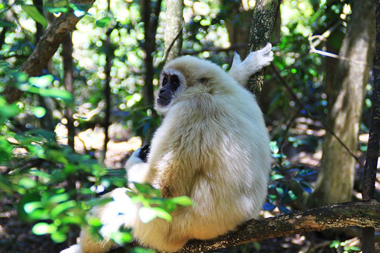 Monkeyland's White Handed or Lar Gibbon