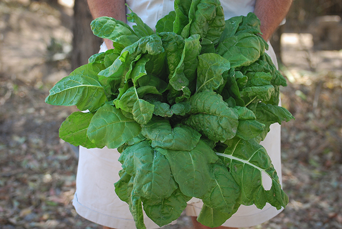 Spinach from Londolozi