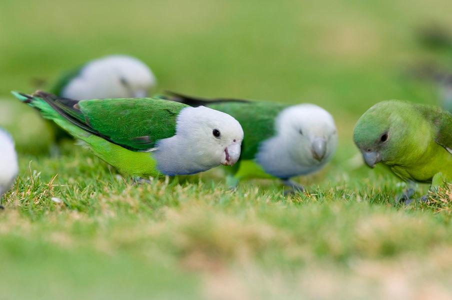 Lovebirds-sur-pelouse-AJJ