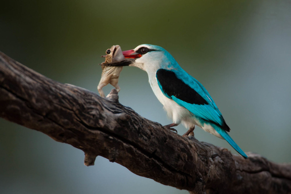 Woodland_Kingfisher_feeding_Zarafa