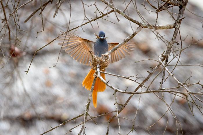 female-paradise-flycatcher-kate-neill