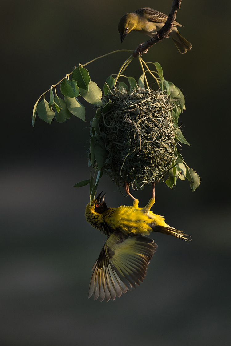 Time for inspection. Hanging from his near perfect creation, a male village weaver tries to convince a potential mate THIS is the nest and partner to choose this breeding season.