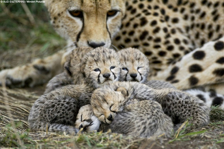 snuggling-cheetah-cubs-with-mother