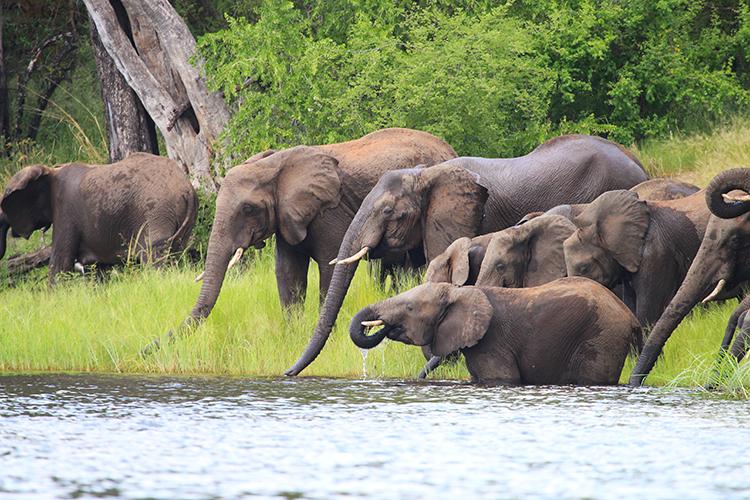 Royal Chundu Elephants 1