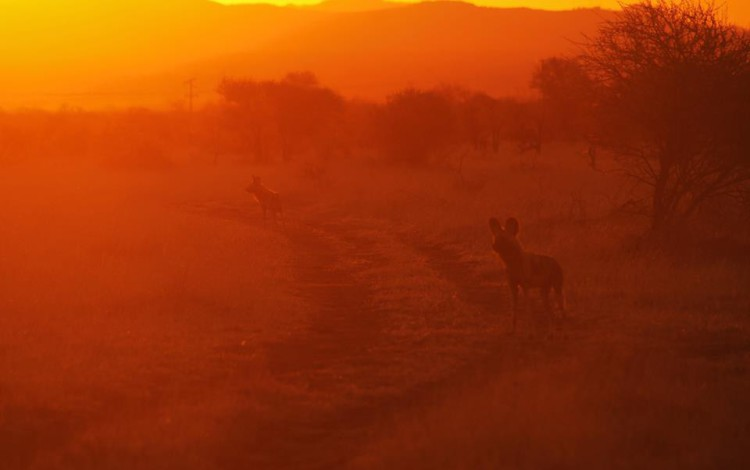 As the sun begins to set the Wilddogs become active and mobile and begin their search for prey... — at Morukuru Family.