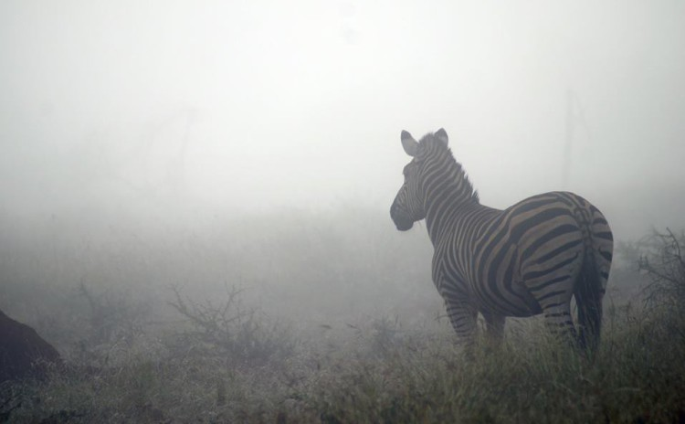 The beauty of a animal in the mist.. What a beautiful start to a day.. (Morukuru Family, Madikwe)
