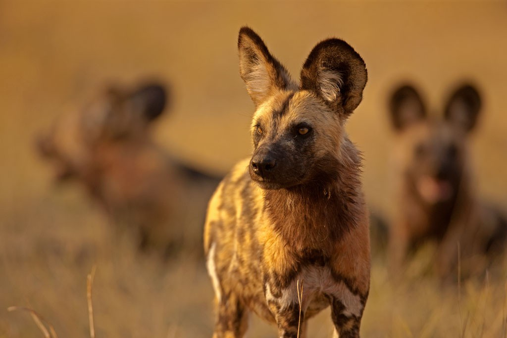 New Wild Dog Pack at Selinda Reserve