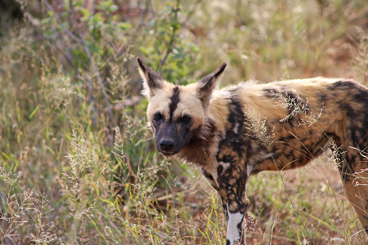 Wild dogs at Morukuru 2