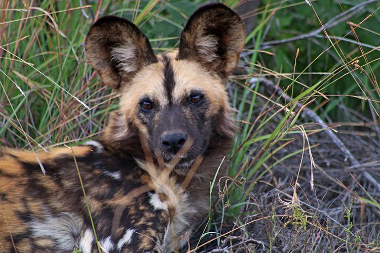 Wild dogs at Morukuru 3