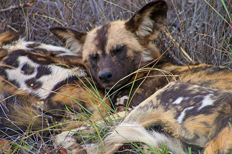 Wild dogs at Morukuru 4