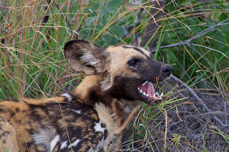 Wild dogs at Morukuru 5