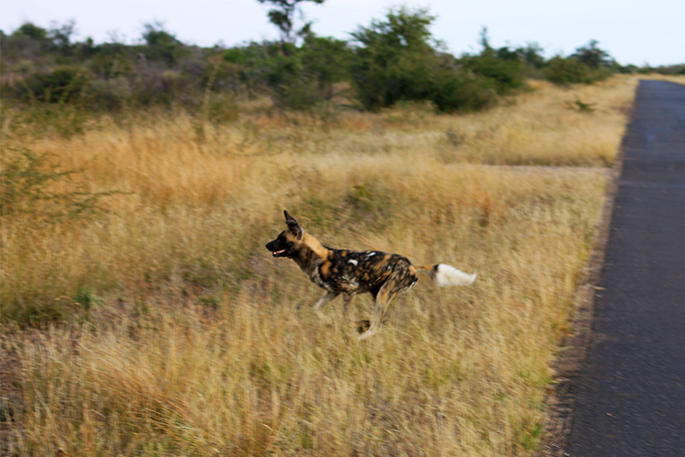 Wild dogs at Morukuru 6