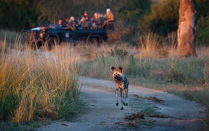 wild-dog-700x439