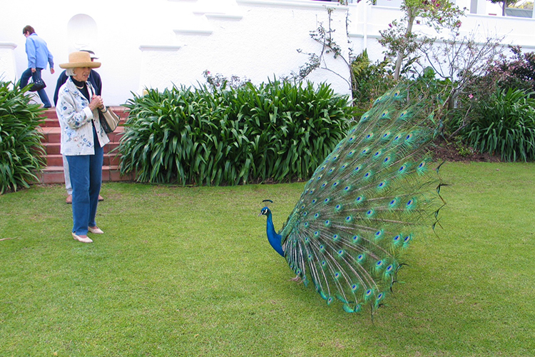 jean-and-the-peacock