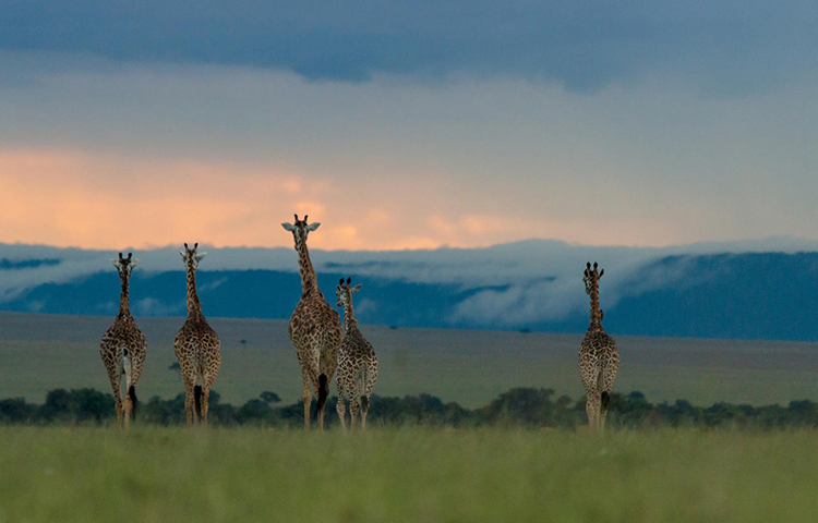 giraffe-in-the-masai-mara