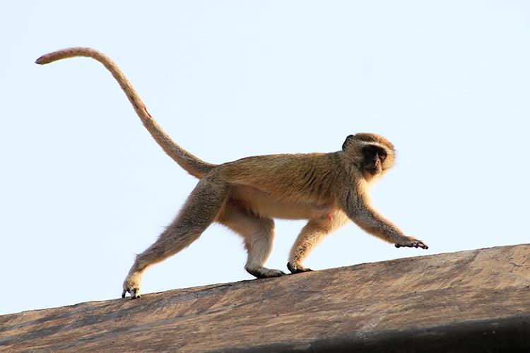 monkey-life