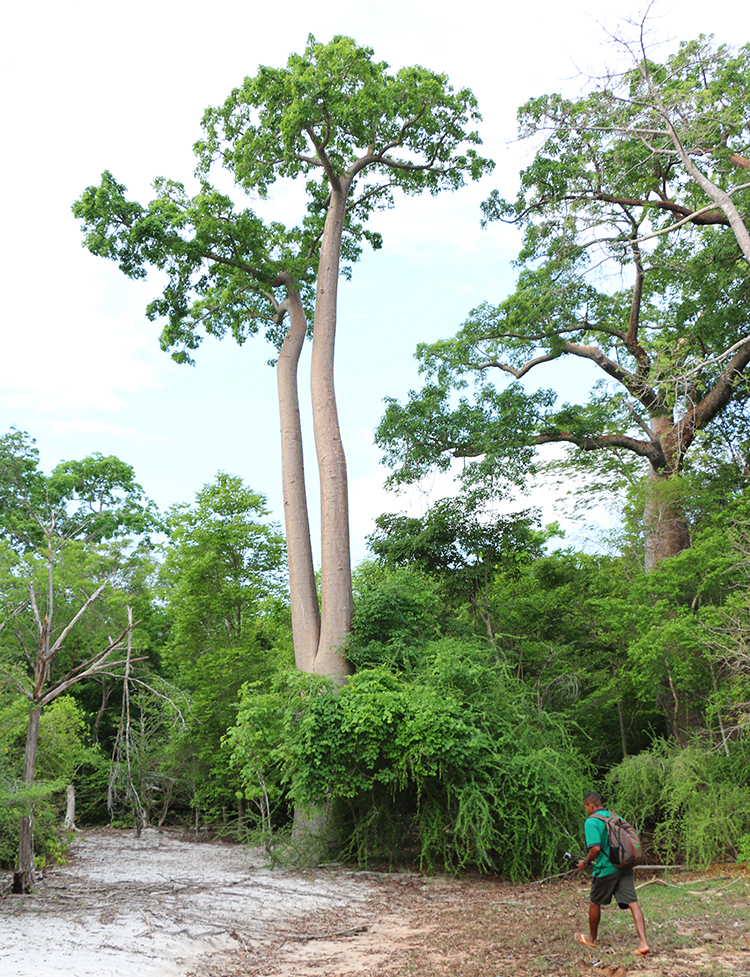 baobabs-1